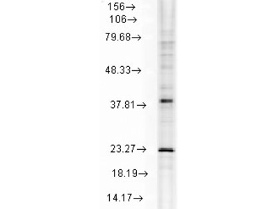 Mouse monoclonal Hsp22 Antibody