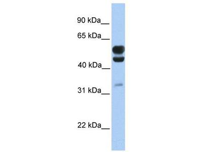 Rabbit polyclonal Anti-C3orf64 Antibody