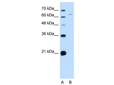 Rabbit Polyclonal Anti-NOX1 Antibody