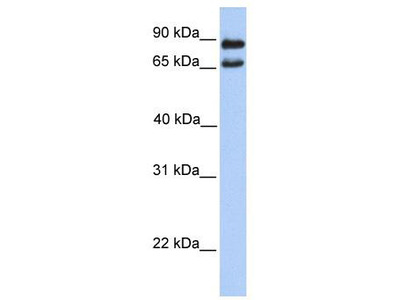 Rabbit Polyclonal Anti-C9orf117 Antibody