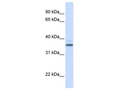 Rabbit Polyclonal Anti-DBP Antibody - middle region