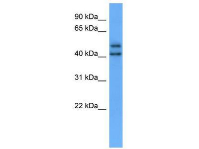 Rabbit Polyclonal Anti-OPN3 Antibody