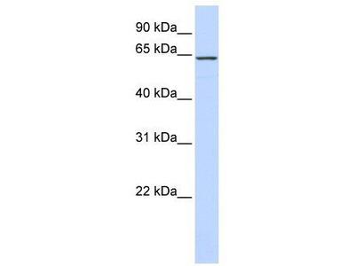 Rabbit Polyclonal Anti-CKAP4 Antibody