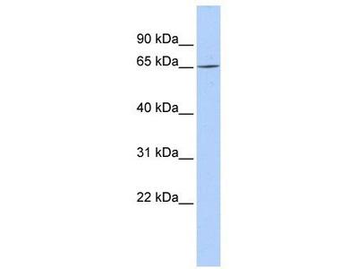Rabbit Polyclonal Anti-ARNTL2 Antibody