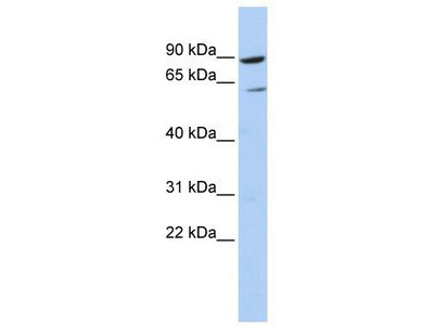 Rabbit Polyclonal Anti-PLCD1 Antibody - N-terminal region