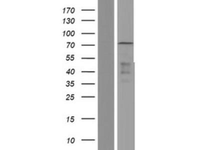 Transient overexpression lysate of E74-like factor 1 (ets domain transcription factor) (ELF1), transcript variant 2