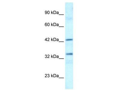 Rabbit Polyclonal Anti-TAF1A Antibody