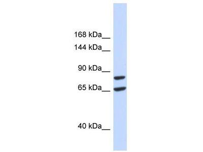 Rabbit Polyclonal Anti-SLC26A8 Antibody