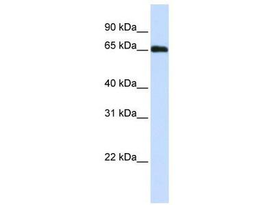 Rabbit Polyclonal anti-WDR23 antibody