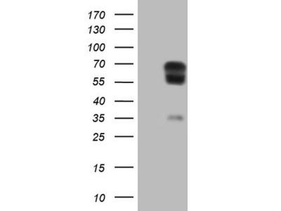 PLAT mouse monoclonal antibody, clone OTI3H3 (formerly 3H3)