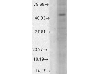 Mouse Monoclonal Anti-GABA(A) Receptor alpha1 Antibody