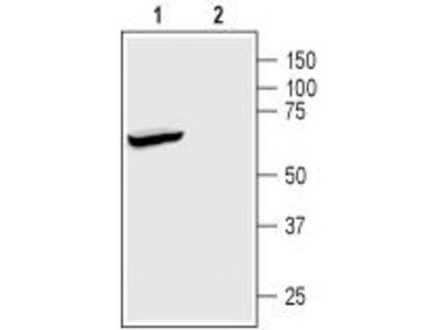 Rabbit Polyclonal Anti-K2P2.1 (TREK-1)