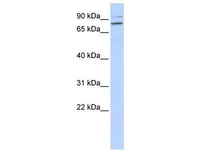 Rabbit Polyclonal Anti-PLCD1 Antibody - N-terminal region