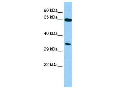 Rabbit Polyclonal anti-Hlf Antibody