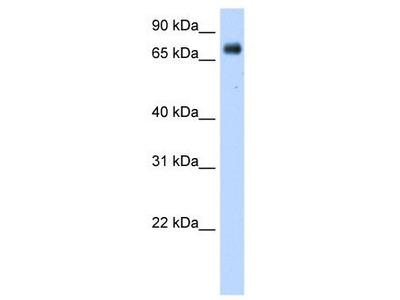 Rabbit Polyclonal Anti-POR Antibody