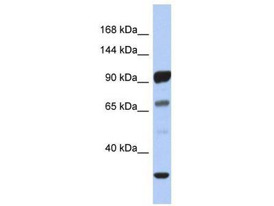 Rabbit polyclonal Anti-PCDHA10 Antibody