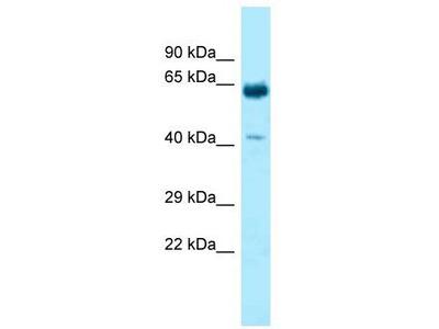 Rabbit Polyclonal Anti-KRT9 Antibody