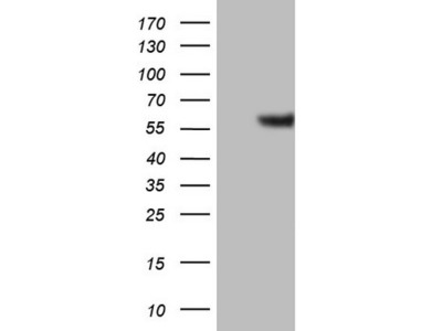 GABRA5 mouse monoclonal antibody, clone OTI1G9 (formerly 1G9)