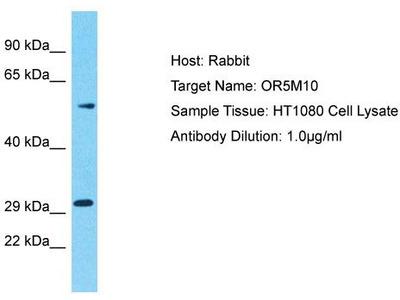 Rabbit Polyclonal Anti-OR5M10 Antibody