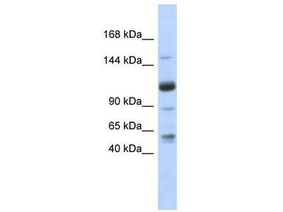 Rabbit Polyclonal Anti-SR140 Antibody