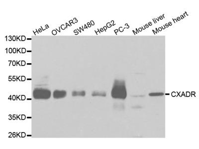 Rabbit anti-CXADR Polyclonal Antibody