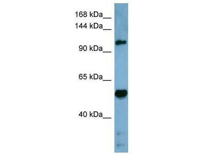 Rabbit Polyclonal Anti-COBLL1 Antibody