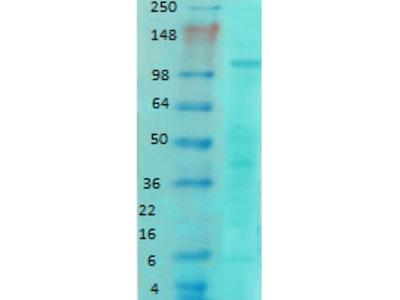 Mouse Monoclonal Anti-GluN1-NR1 Antibody