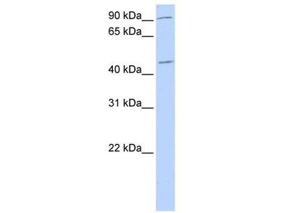 Rabbit Polyclonal Anti-NR2F2 Antibody