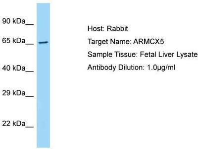 Rabbit Polyclonal Anti-ARMCX5 Antibody