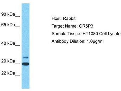 Rabbit Polyclonal Anti-OR5P3 Antibody