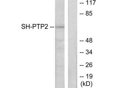 Rabbit polyclonal SH-PTP2 antibody