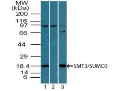 Rabbit Polyclonal SUMO3 Antibody