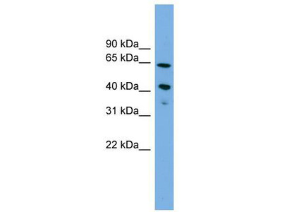 Rabbit Polyclonal Anti-ATP8B2 Antibody