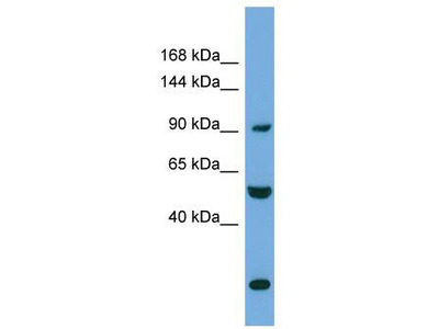Rabbit Polyclonal Anti-EXOC1 Antibody - N-terminal region