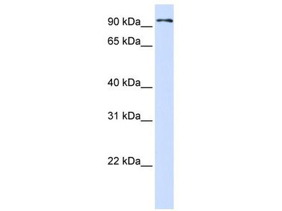 Rabbit polyclonal Anti-PCDHB13 Antibody