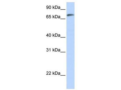 Rabbit Polyclonal Anti-C14orf37 Antibody