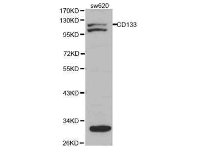 CD133 Rabbit Polyclonal Antibody