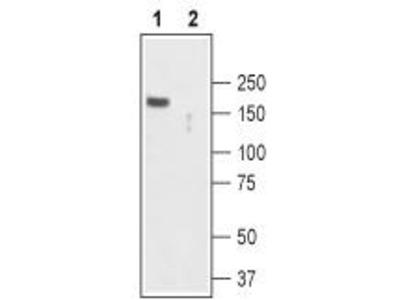 Rabbit Polyclonal Anti-TRPC2