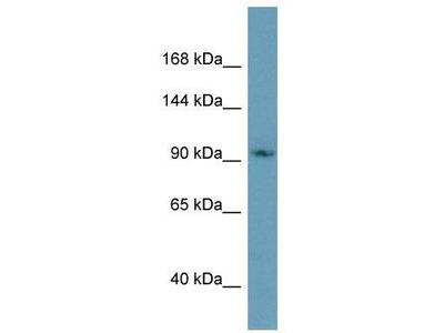 Rabbit Polyclonal Anti-CMTR1 Antibody