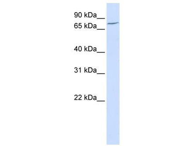 Rabbit Polyclonal Anti-LRRN3 Antibody