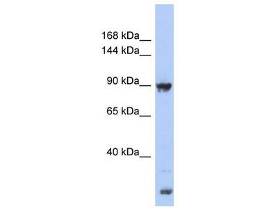 Rabbit Polyclonal Anti-URG4 Antibody