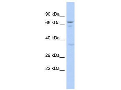 Rabbit polyclonal Anti-GAS2L3 Antibody