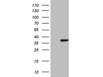 SRSF9 mouse monoclonal antibody, clone OTI5G7 (formerly 5G7)