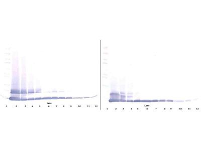 Biotinylated Anti-Murine MCP-5 Rabbit Polyclonal Antibody