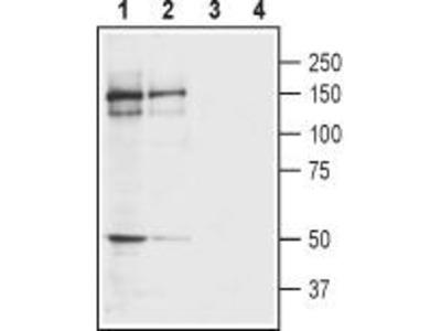 Rabbit Polyclonal Anti-Kainate Receptor GluK4 (extracellular)