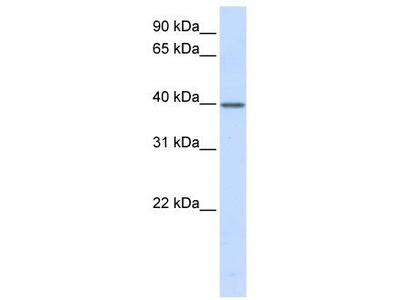 Rabbit Polyclonal Anti-TCEA3 Antibody