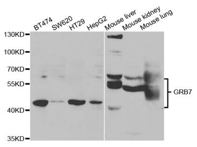 Rabbit anti-GRB7 Polyclonal Antibody
