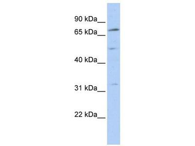 Rabbit Polyclonal Anti-NR6A1 Antibody