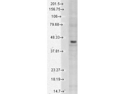 Mouse monoclonal Kir2.3 Antibody