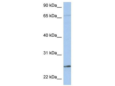 Rabbit Polyclonal Anti-KLK6 Antibody